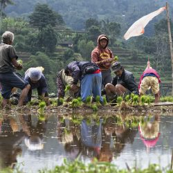Isabelle Redemption Balinese working routine People planting rice in rice paddy in Bali