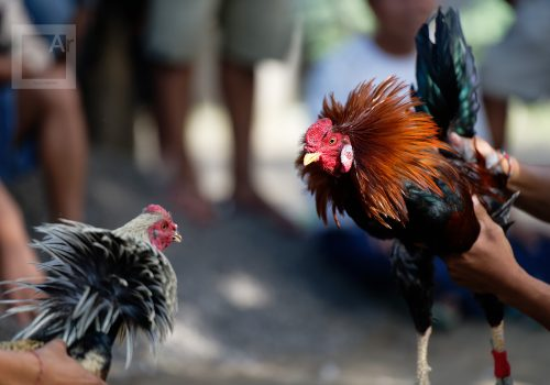 Isabelle redemption act and react Roosters cockfight Bali, Indonesia